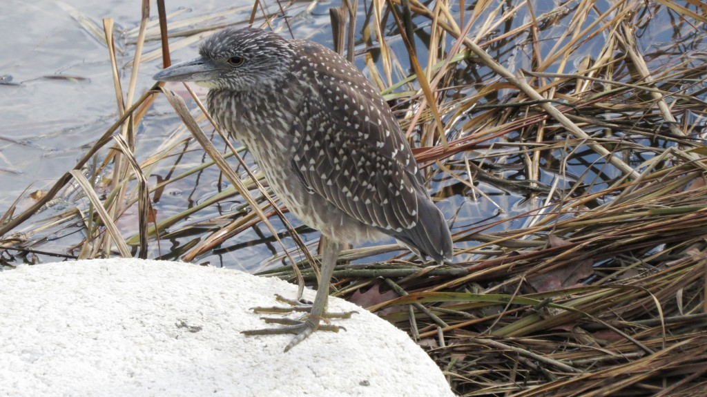 Juvenile Black-crowned Night-Heron Counted on Randall's Island © Jennifer Adams
