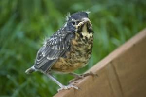 American Robin Fledgling © Denise Rosser / Flickr CC BY-ND 2.0
