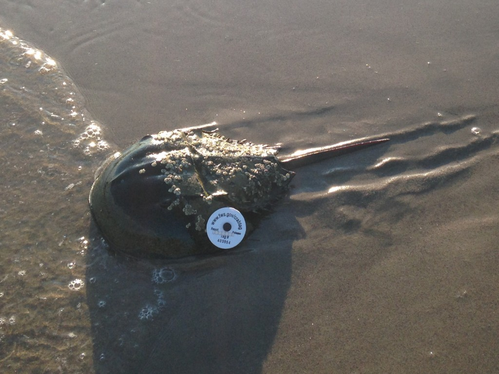 "Horseshoe Crab Tagged ""403854"" at Plumb Beach West. Photo © Andrew Martin"