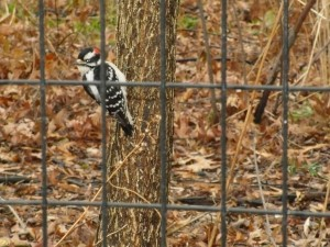 Hairy Woodpecker at 2016 Central Park Christmas Bird Count © Elaine Silber