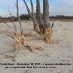 Plumb Beach - Exposed Allanthus tree roots reveal sand loss from dune erosion 11-16-12 © Ron Bourque