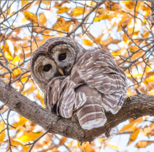 Barred Owl in Central Park, November 4, 2018 © Ellen Michaels