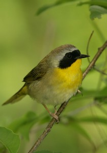 Common Yellowthroat © Steve Nanz
