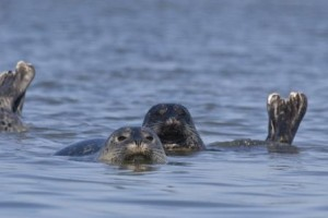 Harbor Seals © Mike Baird (Flickr Creative Commons License)