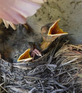 American Robin Nestlings © kkmarais / Flickr CC BY 2.0