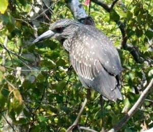 Juvenile Yellow-Crowned Night-Heron © Gail Karlsson