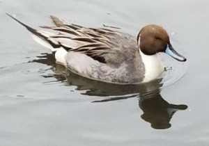 Northern Pintail on the Pond in Central Park