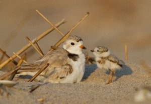 Piping Plovers © François Portmann
