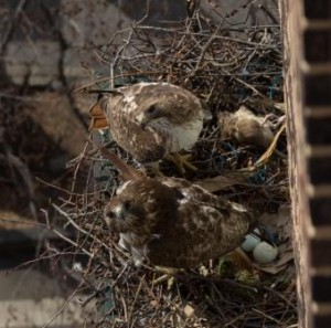 Two eggs are visible in Chris and Dora's nest. Photo © Sandrine Lee